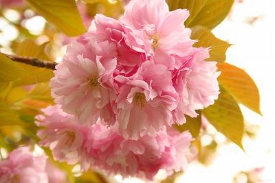 八重桜も咲いた★
