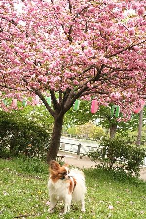 八重桜の下で・・・ ぱぴ。