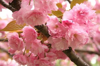 八重桜 あっぷ