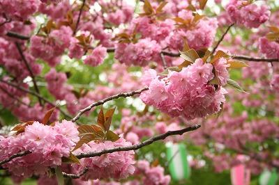 八重桜も終わり・・