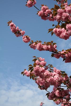 やっと撮れた 八重桜と青空