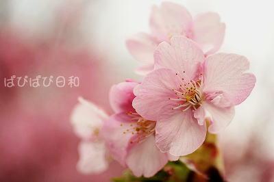 桜・・・・桜★