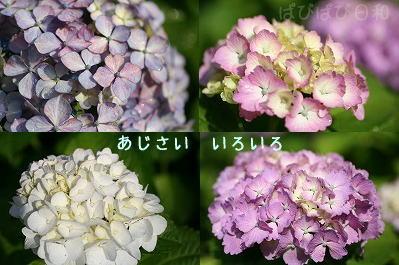 紫陽花いろいろ・・・