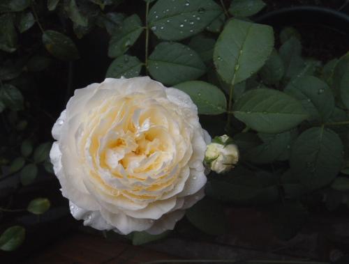 rose1174