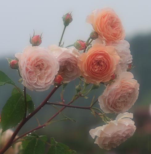 rose1175