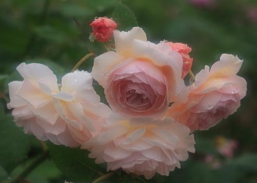 rose1176