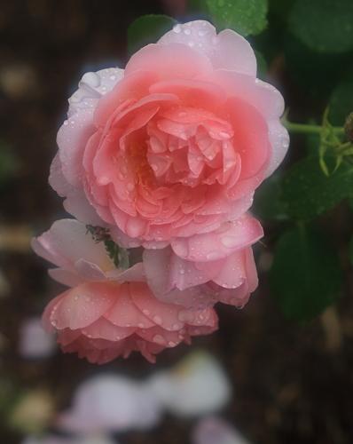 rose1177
