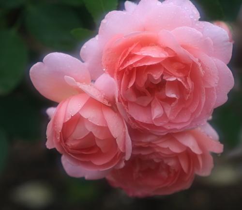 rose1178