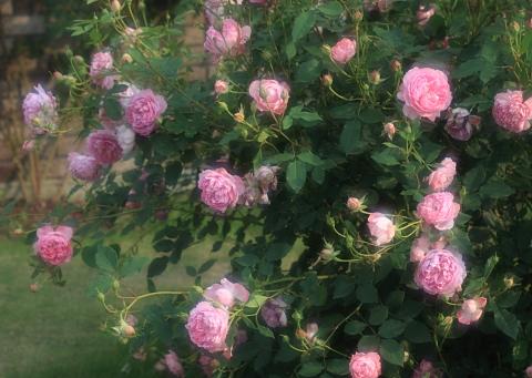rose1180