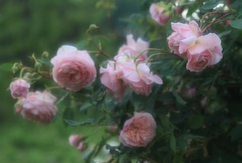 rose1181