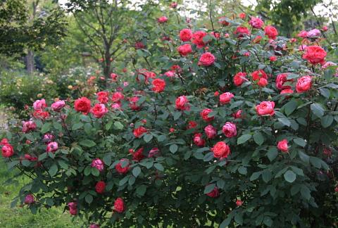 rose1182