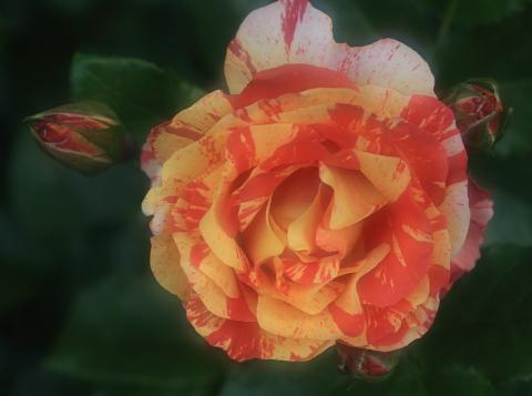 rose1183