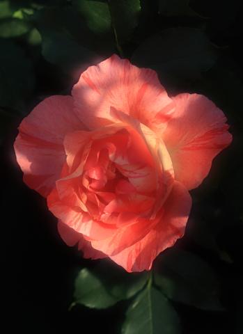 rose1184