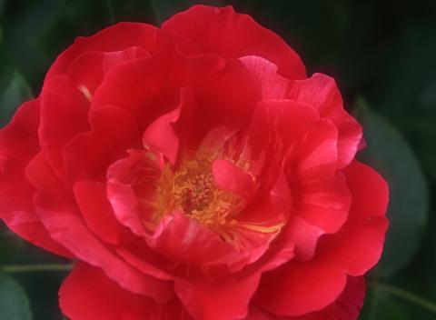 rose1185