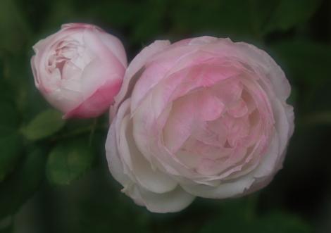 rose1186