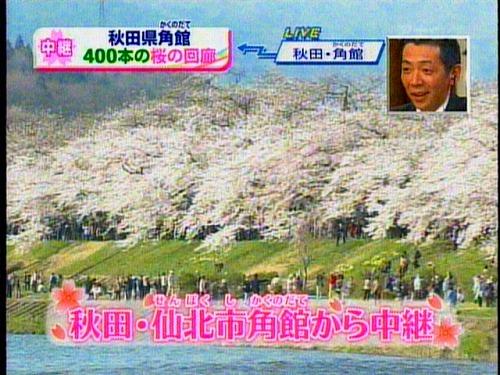 090424秋田角館桜