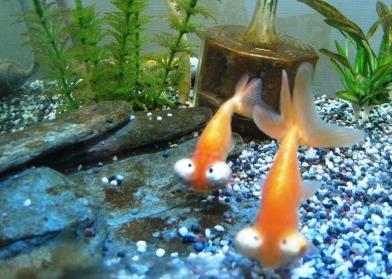 金魚SP 011