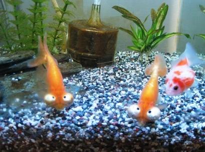 金魚SP 012