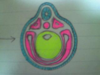 神経胚・後期カラーver