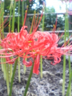 恵林寺の彼岸花