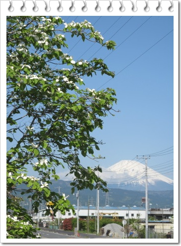 ハナミズキと富士山