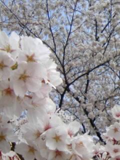 お花見 桜道アップ