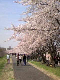 お花見 桜道
