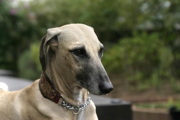Template:Infobox 犬種 - Templa...