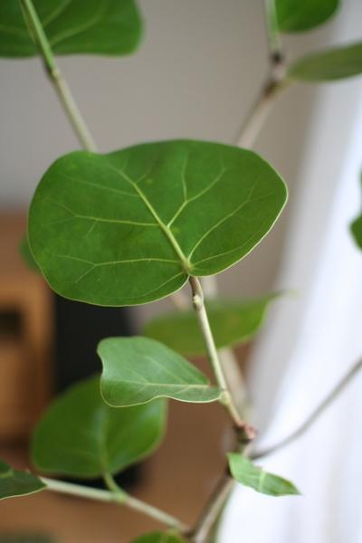 ココロバの葉