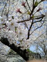 無風庵の桜