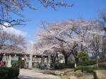 桜080327飛鳥山1