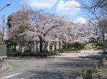 桜080327飛鳥山2