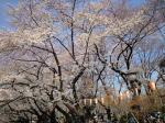 上野公園の桜H21年春その3
