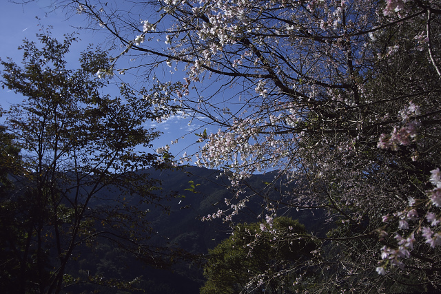 fuyuzakura04_3426.jpg
