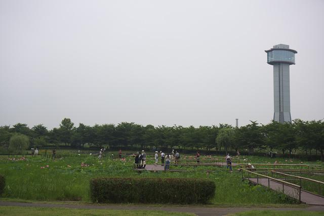 hasu1_0514.jpg