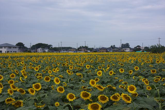 himawari_1413.jpg