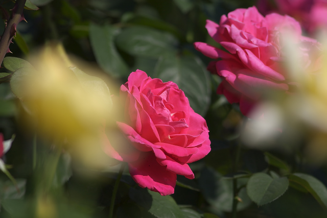 rose02_2985.jpg