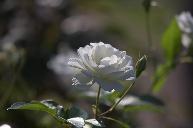 rose04_3014.jpg