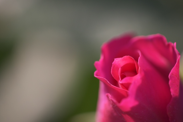 rose05_3034.jpg