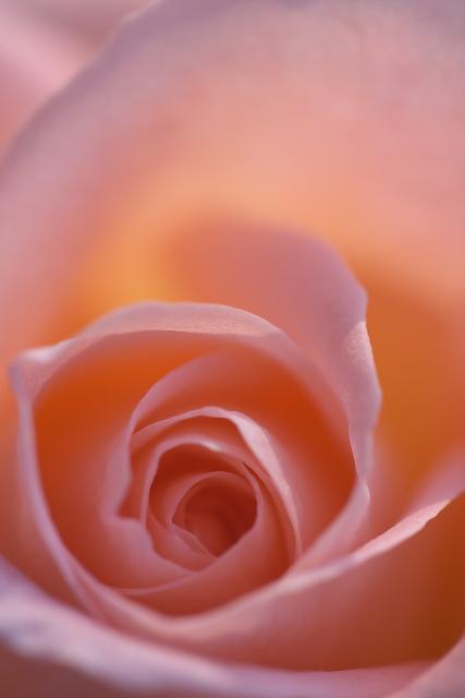 rose09_3020.jpg