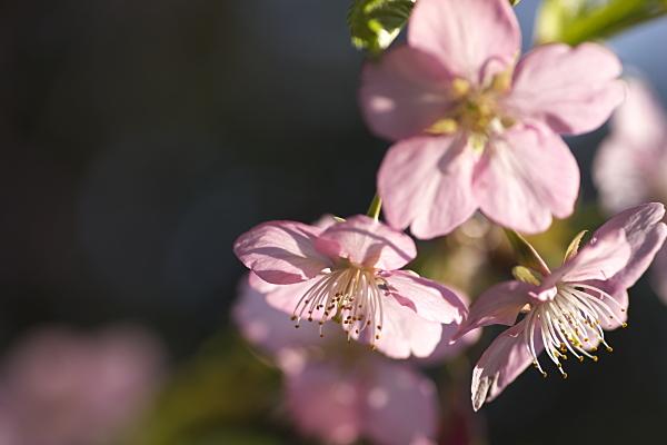 sakura_6799.jpg