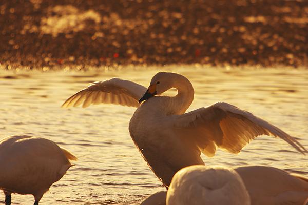 swan_4436.jpg