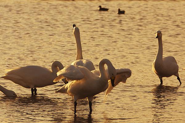 swan_4496.jpg