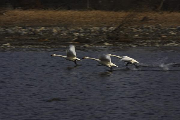 swan_5462.jpg