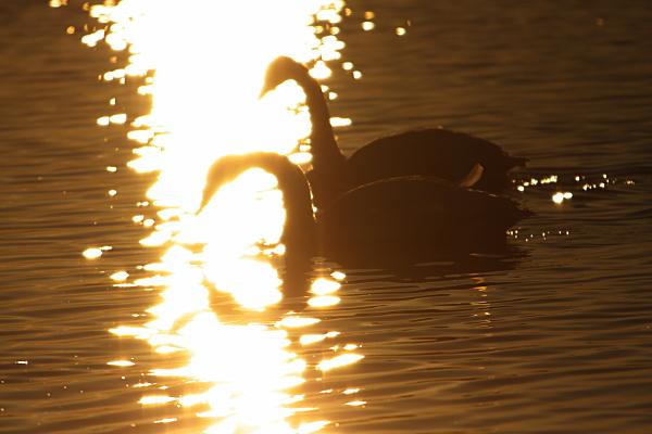 swan_5776.jpg