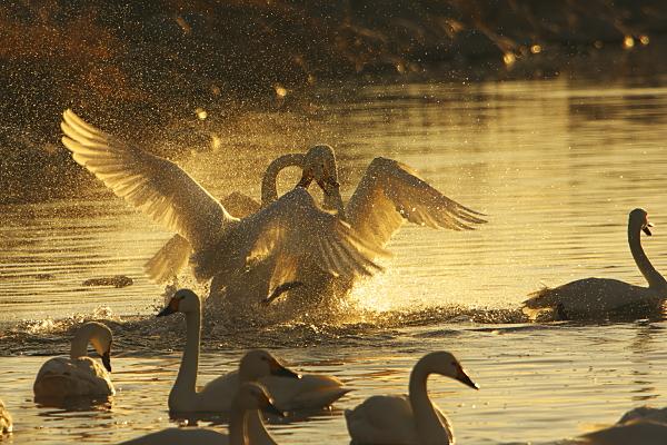 swan_5831.jpg