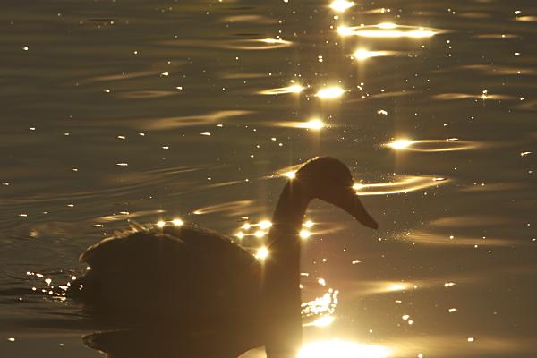 swan_5859.jpg