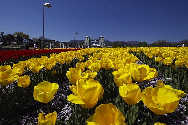 tulip_6100.jpg