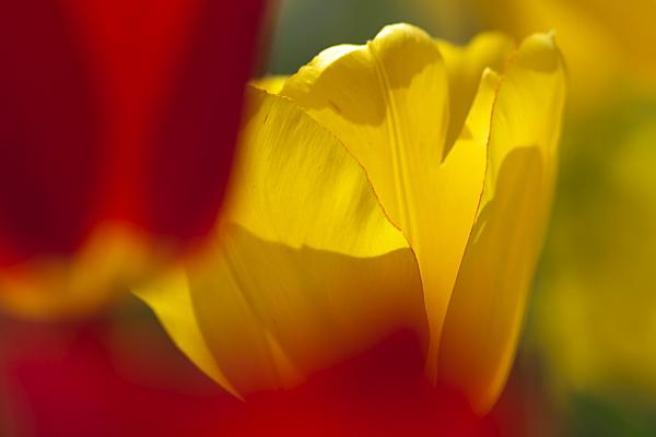 tulip_7003.jpg
