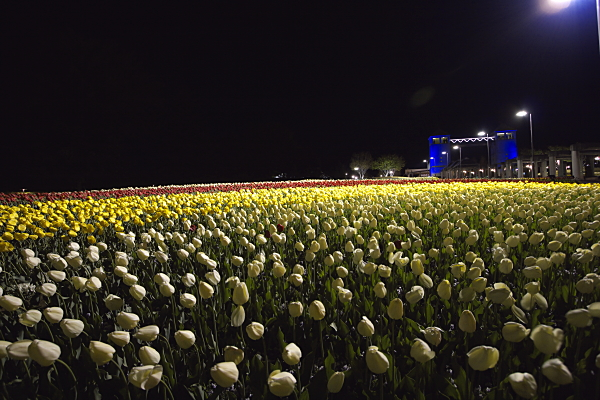 tulip_7137.jpg